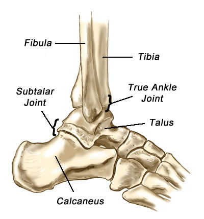Ankle Anatomy And Physiology